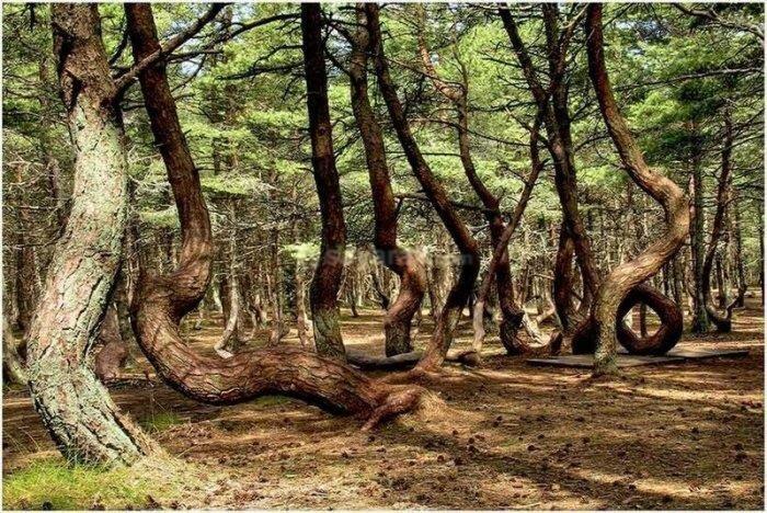 راز درختان عجیب رقصان ، گردشگران پس از بازدید این مکان مرموز چه می گویند؟