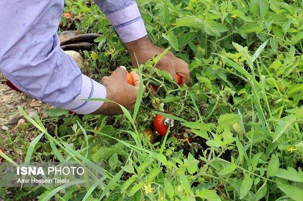 کاهش 1300 هکتاری کشت گوجه فرنگی در کرمانشاه
