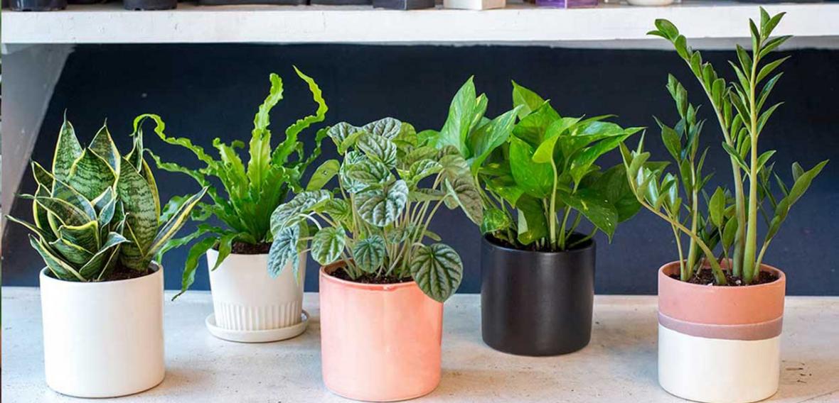 بهترین گیاهان مخصوص دکوراسیون که مقاوم نیز هستند