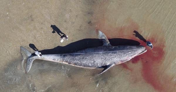 نهنگ های خاکستری از گرسنگی در حال مرگ هستند
