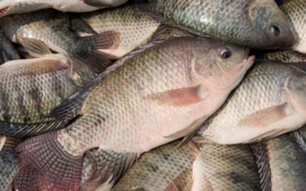 سرانه مصرف ماهی در ایران نصف شد