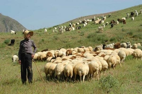 دام های عشایری به صورت حمایتی از عشایر خراسان شمالی خریداری می شود