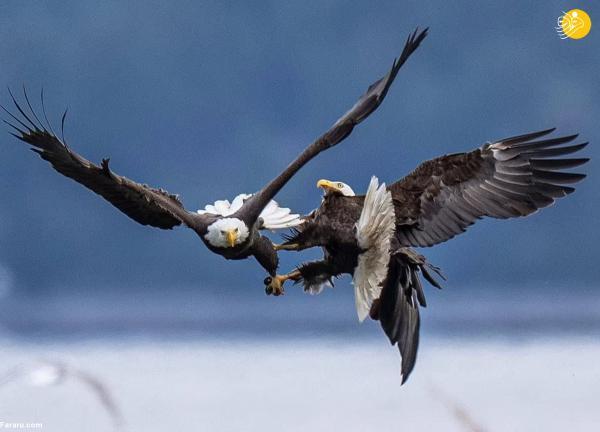 (تصاویر) پنجه در پنجه شدن عقاب های سرسفید در آسمان