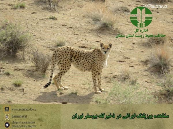 تصویر برداری از فِقِه ، یکی از یوزپلنگ های شناسنامه دار ایرانی درپارک ملی توران